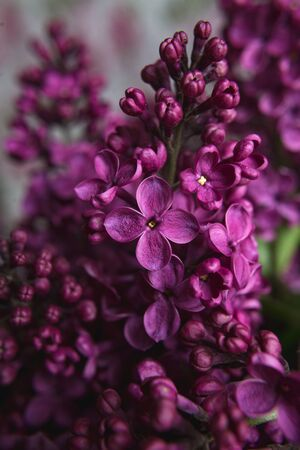 A bouquet of lilacs. Close up. Beautiful purple violet blooming lilac flowers. Greeting card.