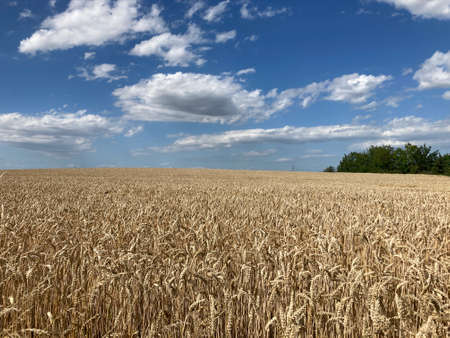 Field of ripe grain in shades of gold during windy afternoon with cloudy sky in background Reklamní fotografie