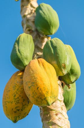 Ripe and raw papaya on the tree  photo