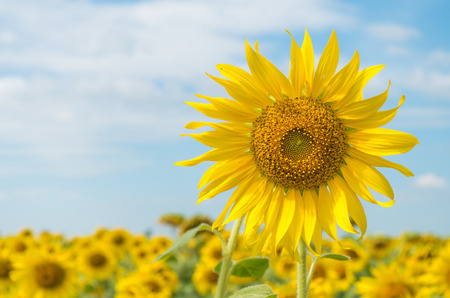 field of blooming sunflowers photo