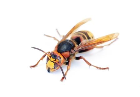 the hornet isolation on white  photo