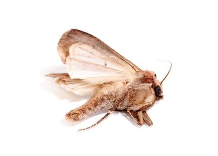 Butterfly. (Agrotis segetum. Noctuidae ) photo