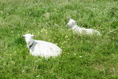 Goats on the green meadow