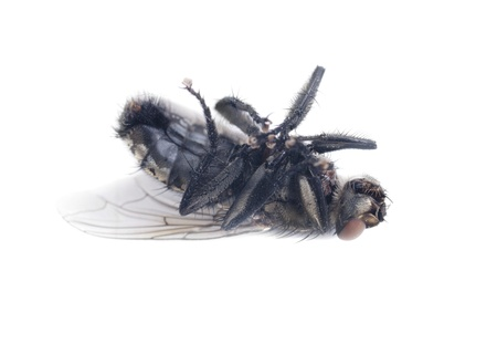 irritate: fly on a white background  Stock Photo