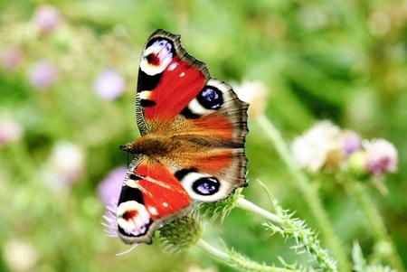 peacock butterfly: pavo real mariposa con las alas abiertas