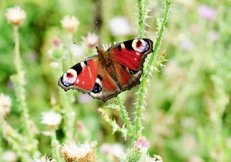 peacock butterfly: mariposa pavo real con las alas abiertas