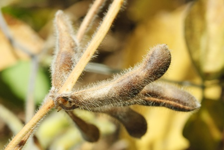 Soya pod macro. Harvest of soy beans - agriculture legumes plant. Soybean field - dry soyas pods.