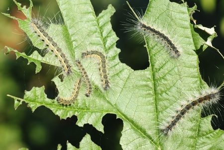 some caterpillars on a leaf viburnum photo