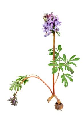 corydalis: Flower Corydalis halleri with root bulb. Spring close-up.