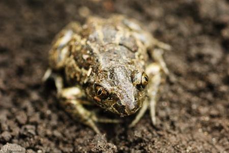 earthen: Earthen frog .Close up.