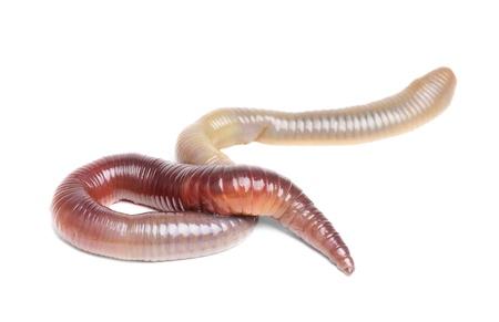 Tier Erde Wurm isoliert