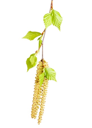 pussy tree: spring twig birch with green leaves and catkins on a white background