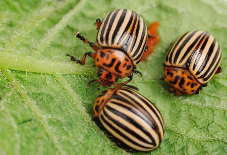 Three Colorado potato beetle on a leaf photo