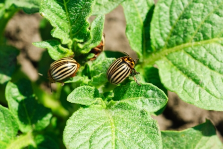 Two colorado potato beetle on a leaf photo