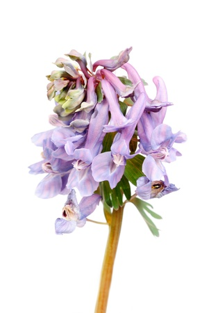 corydalis: Flower Corydalis halleri   Spring close-up