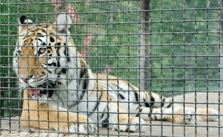 tiger in metal cage, close-up