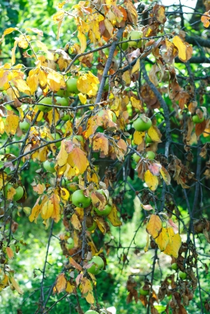 Dry leaves and green apples on a branch. The concept of drought photo