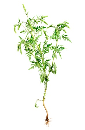 ambrosia: Ragweed plant with root isolated on white background, common allergen