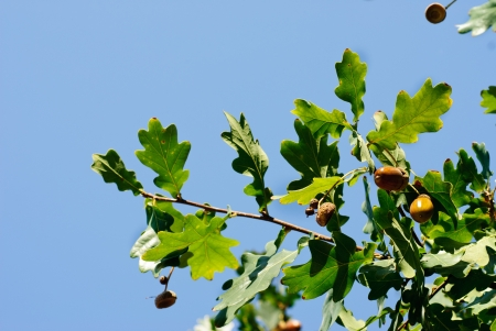 Oak branch with acorns on a background of blue sky photo