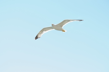 European Herring Gull  Larus argentatus   in  blue  sky photo