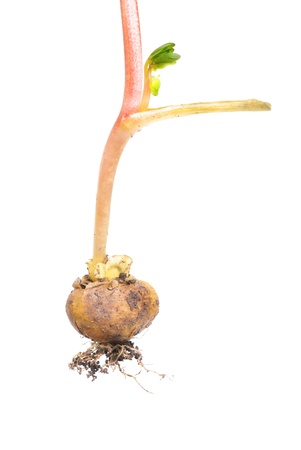 corydalis: Root bulb flower Corydalis halleri macro Stock Photo