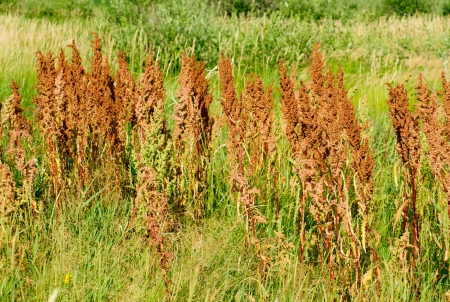 sorrel horse on a green background. Rumex acetosa  photo