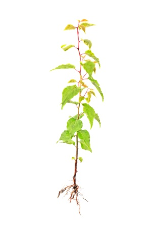 apricot young tree with root isolated on white photo