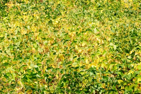 Green - yellow soy plant leaves in the cultivate field  photo