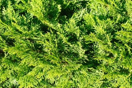 thuja: thuja in close up background