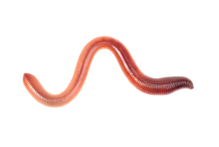 animal earth worm isolated on white background