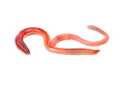 wigglers: two animal earth worm isolated on white background  Stock Photo