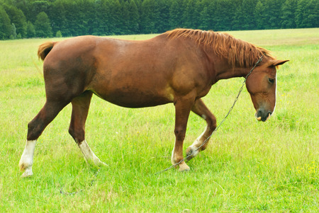 steeplechaser: Horse on a summer pasture  Stock Photo