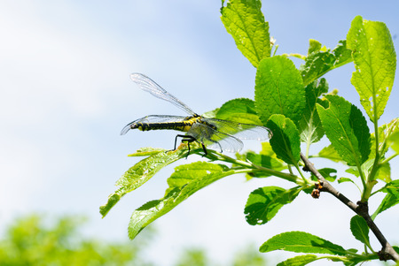 snaketail: Ophiogomphus cecilia. Dragonfly on the green leaves and sky background