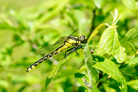snaketail: Ophiogomphus cecilia. Dragonfly on the green leaves background