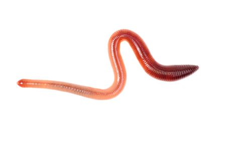 annelida: animal earth worm isolated on white  background
