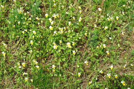 arvensis: Field Pansy - Viola arvensis