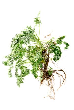 ajenjo: Ajenjo (Artemisia absinthium L.) con ra�z en blanco