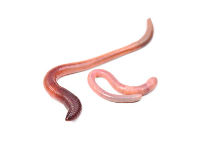 wigglers: two animal earth worm isolated on white  background