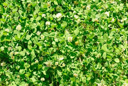trifolium repens: White clover (Trifolium repens). Flower of the clover. Trifolium Repens L. (White clover, Dutch Clover)