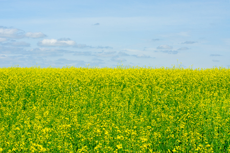 Rape field and blue sky background