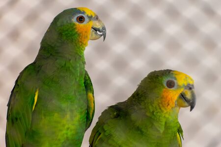Yellow-headed amazon two parrot green feather close together