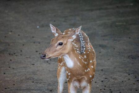 Young Chital Deer at Vandalur Zoo Staring at us in Chennai Tamil Nadu India