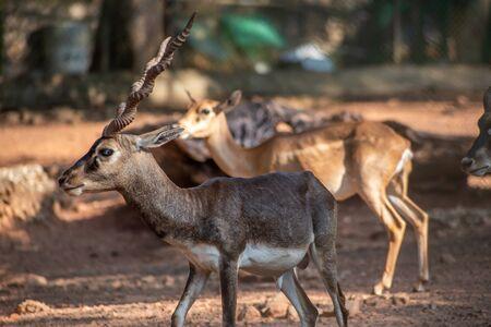 CHENNAI, INDIA - JANUARY 22, 2020 - Close up Shot Blackbuck Deer