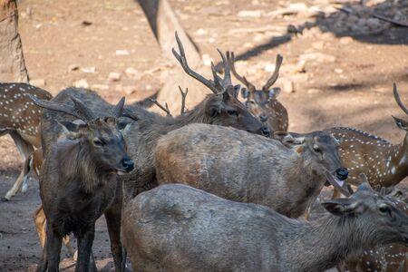 Group of Chital and Sambar Deer Vandalur Zoo in Chennai Tamil Nadu India 免版税图像