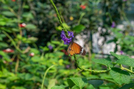 Monarch Butterfly feeds on a bright purple flower in spring garden, green background