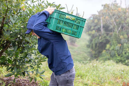 young farmer carrying a basket full of freshly harvested avocados Banque d'images