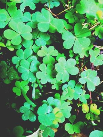 clovers: Green luck clovers