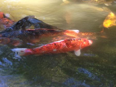 koi: Koi Fish Stock Photo
