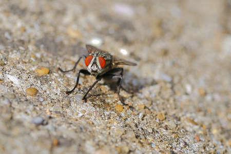 redeye: Macro a fly red-eye and body
