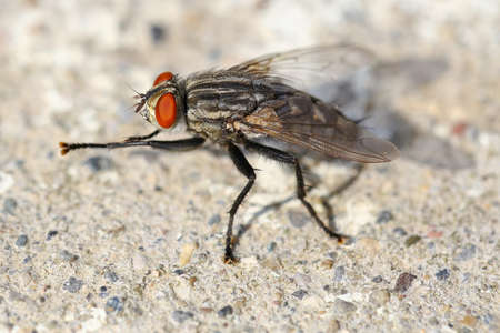 Macro a fly red-eye and body